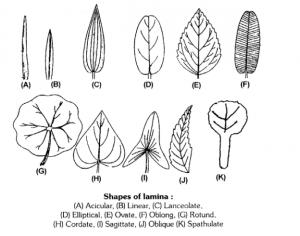 shape of lamina