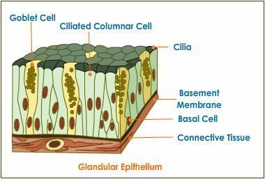 glandular-epithelium-tissue