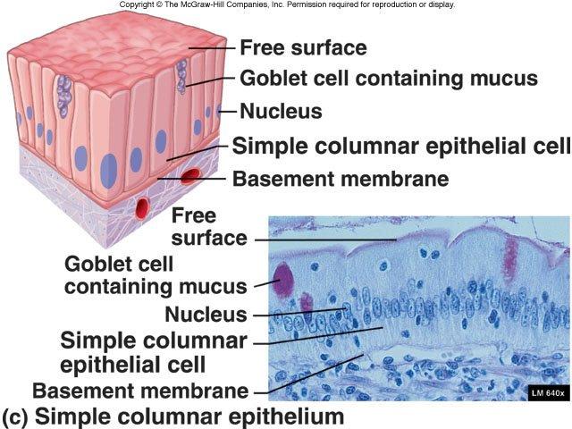 simple columnar eithelium