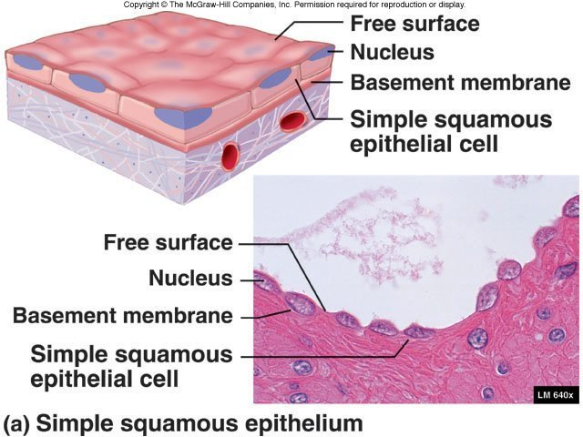 simple squamous epithellium