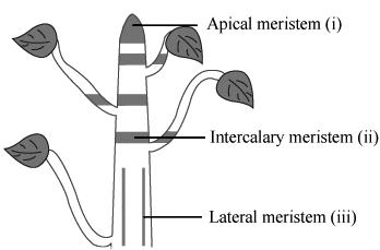 types of merstematic tissue