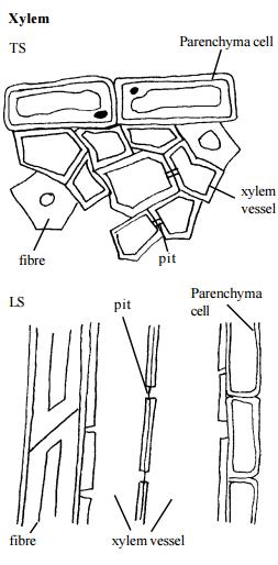 xylum