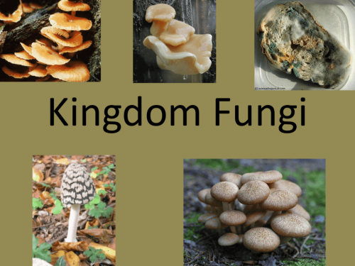 Image result for fungi kingdom