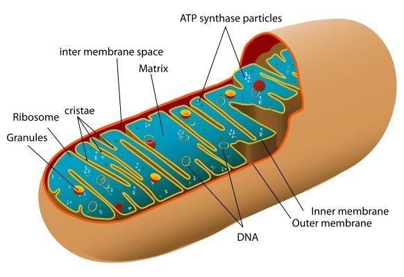 Animal-mitochondrion-diagram