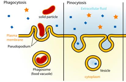 Phagocytosis-and-Pinocytosis